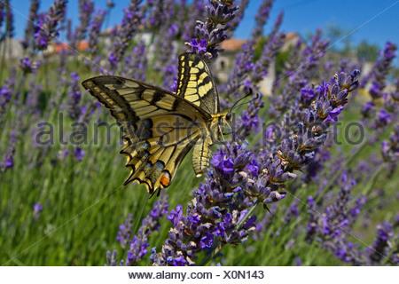 Especie (Papilio machaon), chupar néctar en lavanda, Croacia, Istria