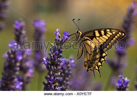 Especie (Papilio machaon), chupar néctar en flores de lavanda, Croacia, Istria