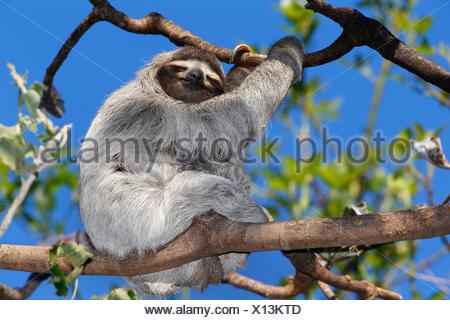 Brown-throated perezoso (Bradypus variegatus), descansa sobre una rama de un árbol, Costa Rica