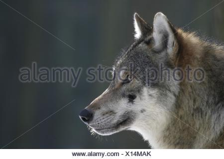 Retrato de lobo europeo