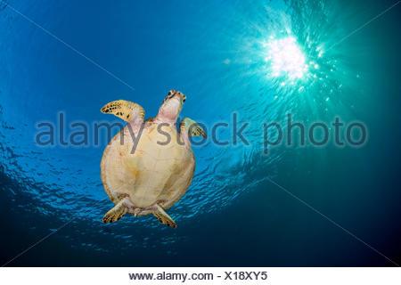 Tortuga Verde (Chelonia mydas) nadando en azul debajo del sol vespertino. Islas Rocosas, Palau, Mirconesia. Oeste del Océano Pacífico tropical. Foto de stock