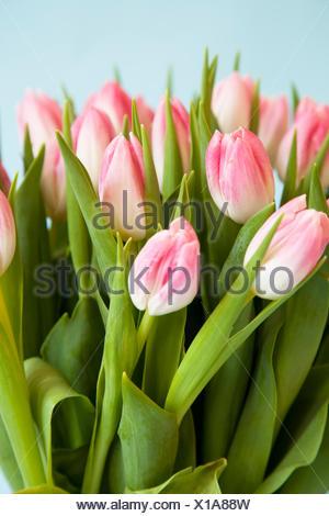 Cerca de tulipanes rosados y blancos Foto de stock