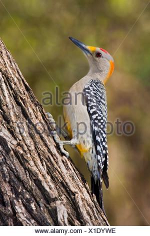 De fachada dorada woodpecker (Melanerpes aurifrons) posado sobre un tronco de árbol en el Valle del Río Grande en Texas, EE.UU.
