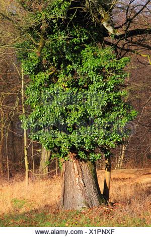 La hiedra la hiedra común (Hedera helix), Woody trepadora perenne un árbol viejo, Alemania