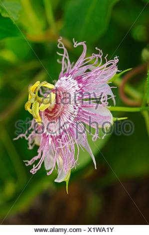 O Púrpura Maypop Passionflower (Passiflora incarnata), EE.UU., América