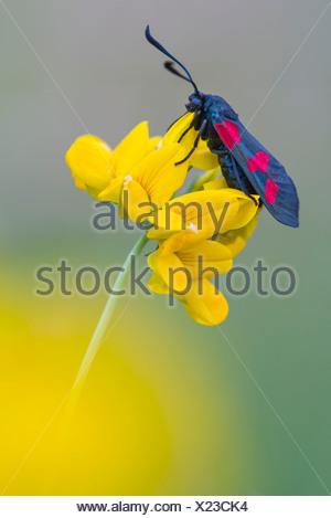 6-spot Burnett, zygaena filipendulae, goldenstedter moor, Baja Sajonia, Alemania