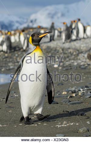 Pingüino Rey (Aptenodytes patagonicus) encaramado en una playa rocosa en Isla Georgia del Sur.
