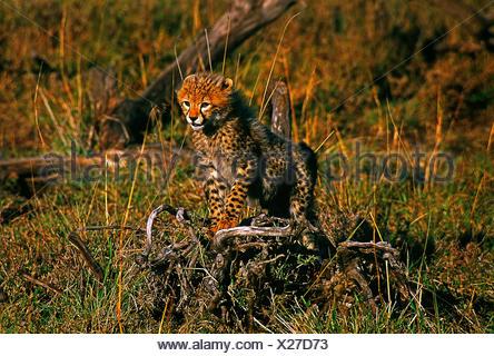 África. Kenya. Reserva Nacional Maasai Mara. Fauna y Flora.Cheetah cub. Foto de stock
