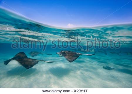 Fotografiar pastinaca americana en el sitio de buceo conocido como Arena