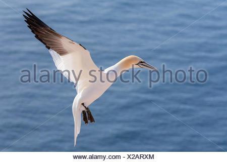 Flying norte de Gannett, Helgoland Alemania Foto de stock
