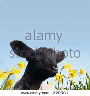 Cordero caminando en el campo de las flores