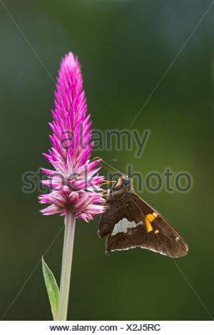 Cerca de la cabeza de la flor de mariposa
