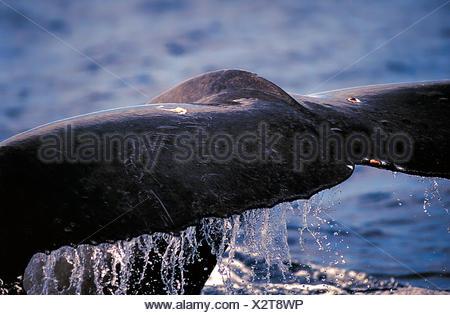 La ballena jorobada, Megaptera novaeangliae, Hawai, Maui, Estados Unidos