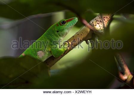 Geco diurno de Madagascar (Phelsuma madagascariensis), cautiva, nativas de Madagascar