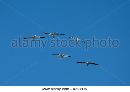 Norte de alcatraces (Sula bassana, Morus bassanus), cinco individuos en el cielo, Alemania Foto de stock