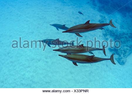 Delfines hawaiano, Stenella longirostris, Isla Grande, costa de Kona, Hawaii, EE.UU.