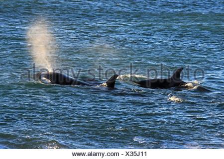 Orca, gran, grampus orca (Orcinus orca), dos Orcas nadando en la superficie del agua para tomar aliento, Argentina, Patagonia, Valdes
