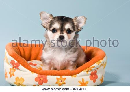 Chihuahua cachorro en la cesta