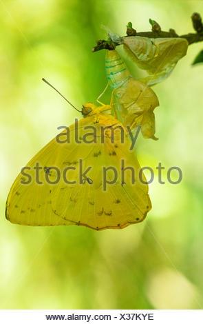 Las nubes de azufre, (Phoebis sennae Butterfly), vista ventral, América del Sur hasta el sur de Canadá