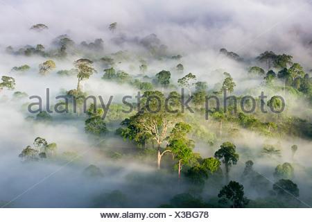 La niebla y las nubes bajas colgando sobre las tierras bajas, Bosque dipterocarp después del amanecer. Corazón del valle Danum, Sabah, Borneo.