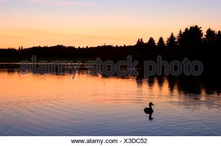 Un pato en el agua Foto de stock