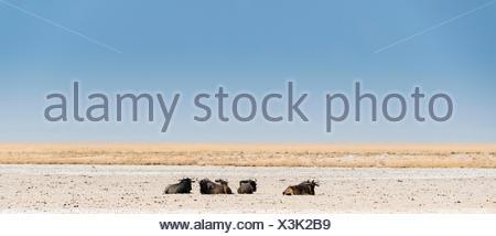 El ñu azul (Connochaetes taurinus) acostado en el calor del mediodía, secado waterhole en el borde de la Cuenca Etosha