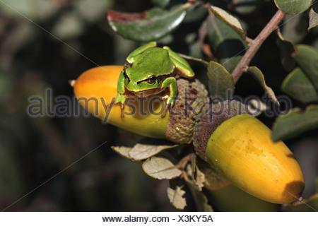 Unión treefrog, común, Europa Central treefrog treefrog (Hyla Arborea), rana sentada sobre una bellota de encina, España, Extremadura