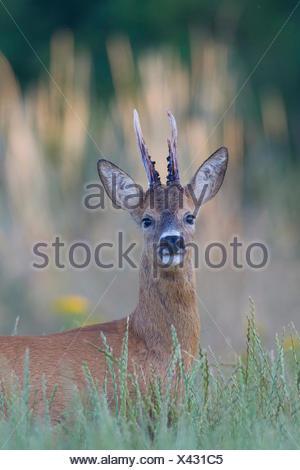 El corzo (Capreolus capreolus). Buck de pie en la hierba alta. Suecia