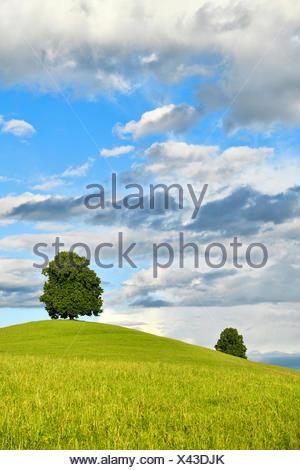 Tilo (Tilia) sobre la colina, cielo nublado, Hirzel, Cantón de Zurich, Suiza