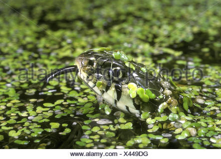 Culebra - Natrix natrix