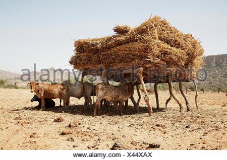 Manada de ganado bajo un abrigo con heno, tierras Dogón, región de Mopti, Malí Foto de stock