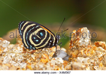 Una mariposa en el Parque Nacional Podocarpus en el sudeste de Ecuador.