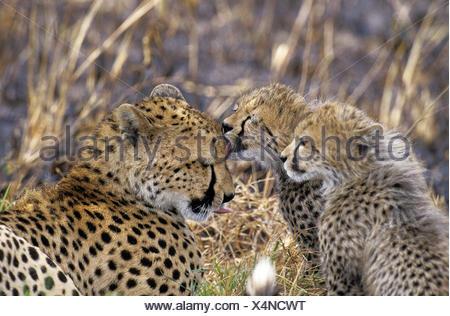 Guepardo Acinonyx jubatus, Cub lamiendo la Madre, Kenya Foto de stock