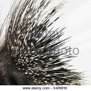 Porcupine quills Foto de stock