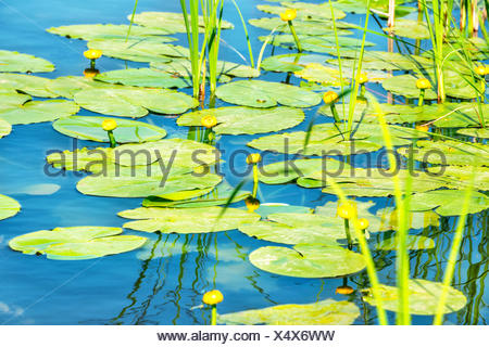 Sobre estanque de nenúfares