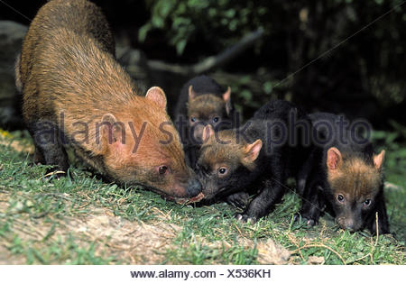 Bush perro vinagre o zorro, speothos venaticus, Madre con Cub