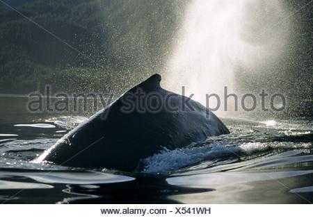Ballena Jorobada desbastado y soplando, Tenakee Admisión, sureste de Alaska