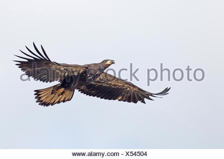 Un águila calva (Haliaeetus leucocephalus) joven se prepara para su ...