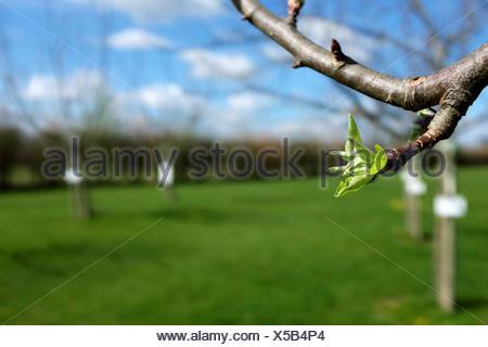Close-up de hojas verdes apertura en Apple tree