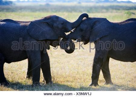 Dos sparring menores del elefante africano (Loxodonta africana), Duba Plains, el delta del Okavango, Botswana, África del Sur.