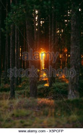 Bosque de coníferas al atardecer Foto de stock