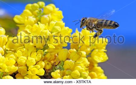 Abeja de miel, Apis mellifera, forrajeo nectar