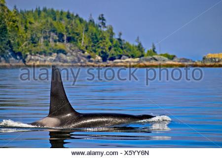 Zoología / animales, mamíferos / mamíferos macho grande comiendo pescado residente del norte Orca (Orca), con una aleta dorsal alta crusing a lo largo de la costa de Columbia Británica, Vancouver Island, British Columbia, Canadá
