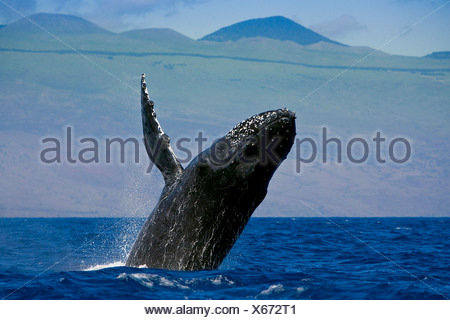 Infringir la ballena jorobada, Megaptera novaeangliae, costa de Kona, Big Island, Hawaii, EE.UU.