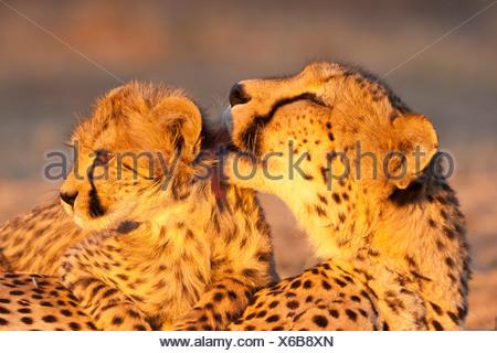 El guepardo (Acinonyx jubatus), madre de lamer su cachorro en la última luz del atardecer, del Tshukudu Game Lodge, hoedspruit Foto de stock
