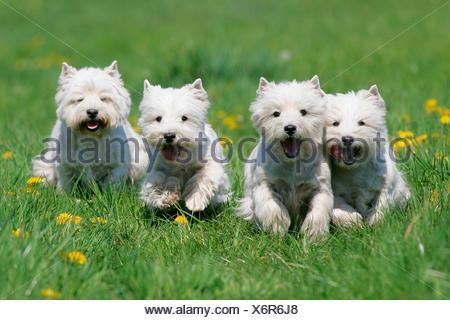 West Highland Terrier, Westie cuatro adultos corriendo en un prado con diente de león floreciente Alemania Foto de stock