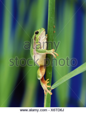 Europa - escalada treefrog Hyla Arborea /