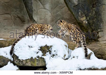Los jóvenes leopardos de las Nieves (Panthera uncia) jugando, cautiva, Suiza