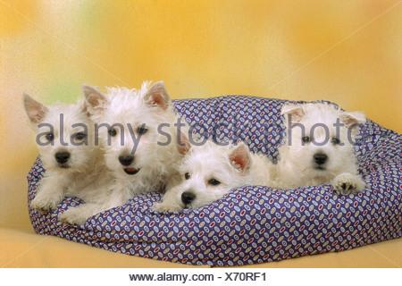 Cuatro West Highland White Terrier cachorros de perro en la almohada Foto de stock