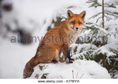 El zorro rojo (Vulpes vulpes), sentada en la nieve, Alemania